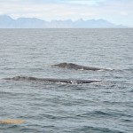 The female whale is trailed by her suitor