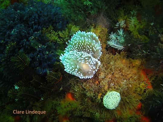 Silvertip nudibranches