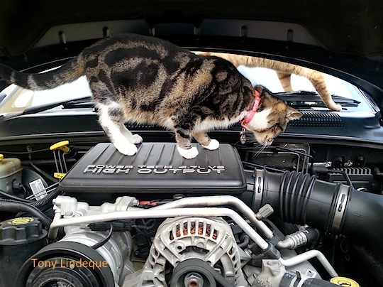 Mini cat checks the engine