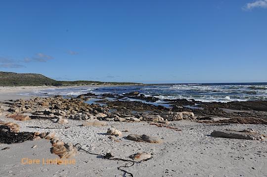 Grumpy sea has thrown lots of kelp onto Scarborough beach