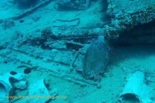 Turtle feeding on Yolanda Reef