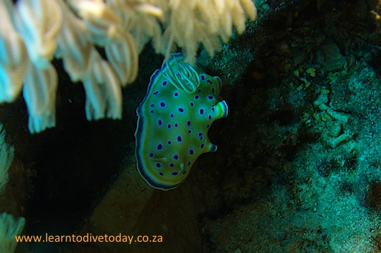 Candy-coloured nudibranch hiding in a toilet