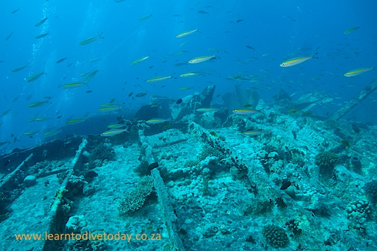 Glassfish teeming on the wreck