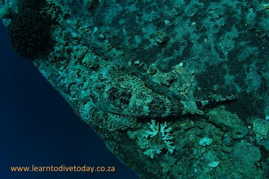 Crocodilefish on the wreck