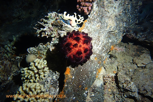 Urchin on the barge wreck