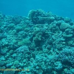 Dense corals at Bluff Point