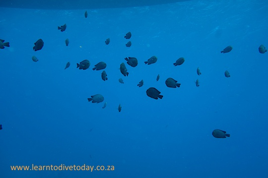 Damselfish under the boat
