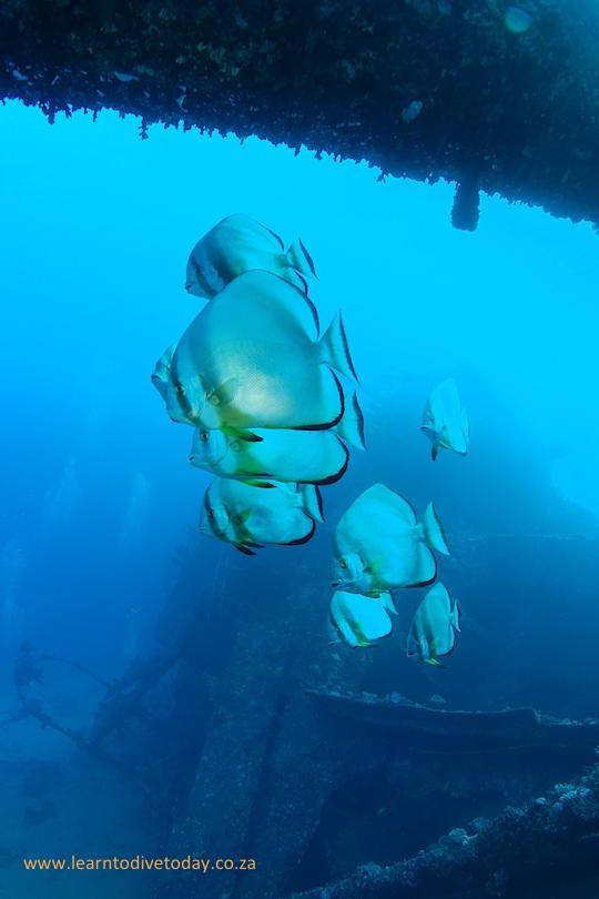 Longfin batfish on the Chrisoula K
