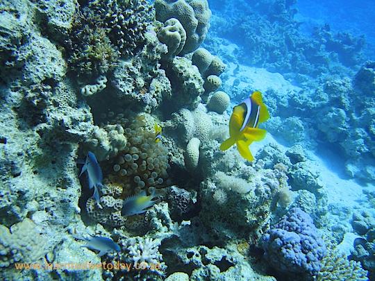 Anemone fish at Poseidon's Garden