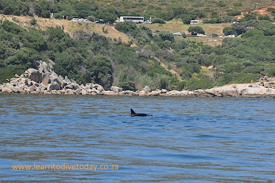 Distant dusky dolphin