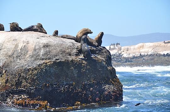 Small seal colony at Llandudno