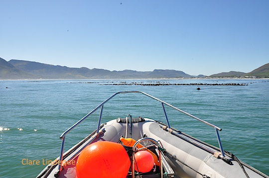Idle near a small kelp forest off Long Beach, Kommetjie