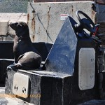 Seal ready to go to sea