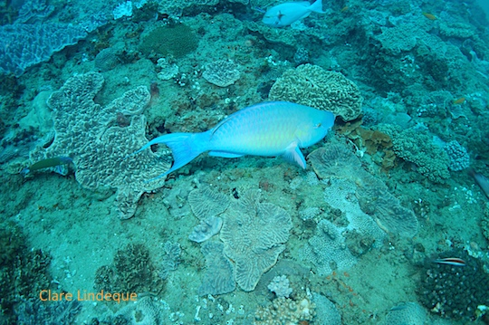 Male ember parrotfish