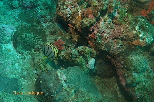 Angelfish close to the coral