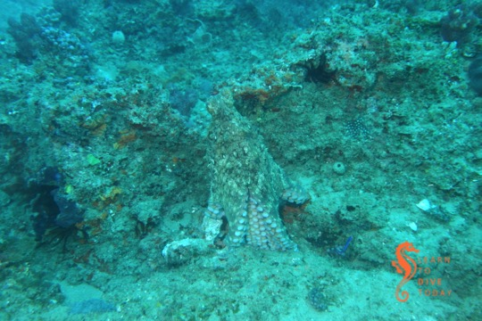 Octopus at Doodles, Ponta do Ouro (southern Mozambique)