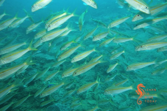 Snappers at Steps, Ponta do Ouro (southern Mozambique)