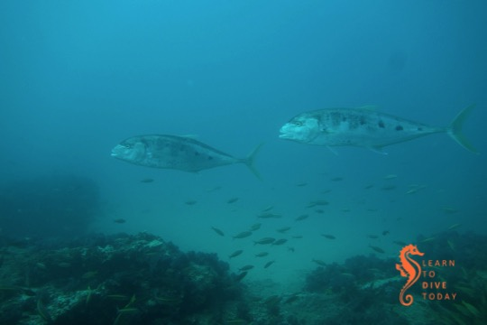 Queenfish at Doodles, Ponta do Ouro (southern Mozambique)