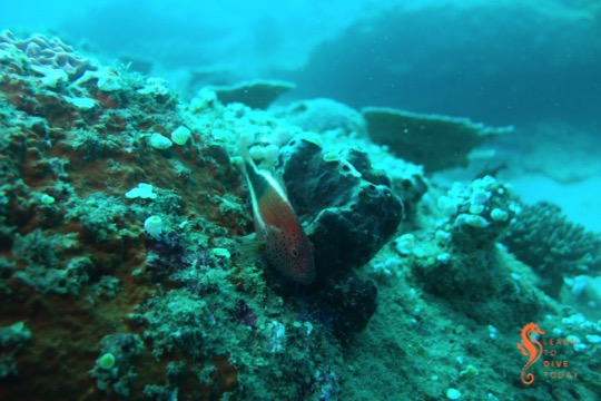 A freckled hawkfish on the reef