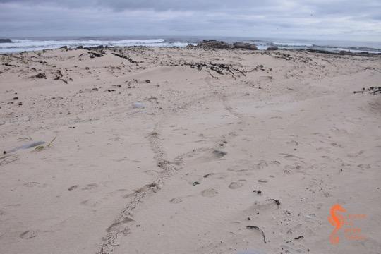 What makes these tracks on the beach?