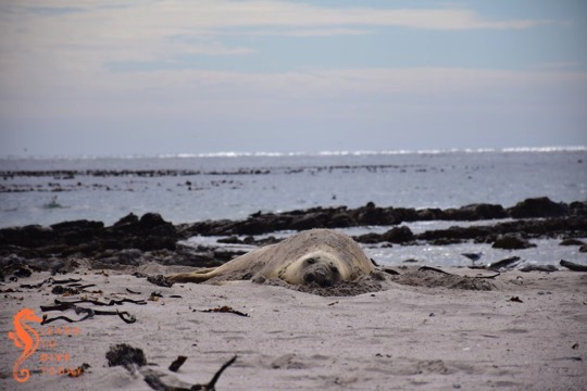 Southern elephant seal snoozing in the sand