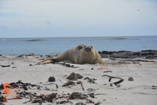 Southern elephant seal on the beach