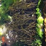 Hanging wrack: (Brassicophycus brassicaeformis)
