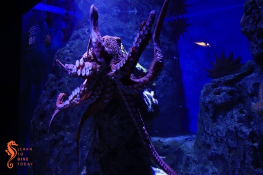 Octopus in the cold water exhibit