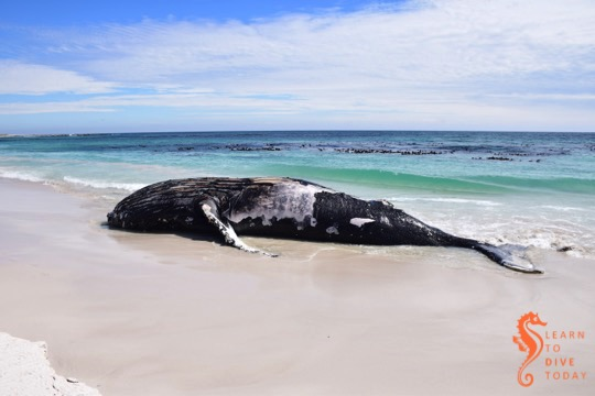 A humpback whale on the beach