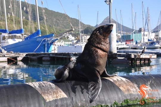 Bull seal with plastic around his neck, in Hout Bay