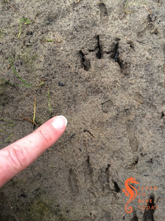 Caracal footprints near our home
