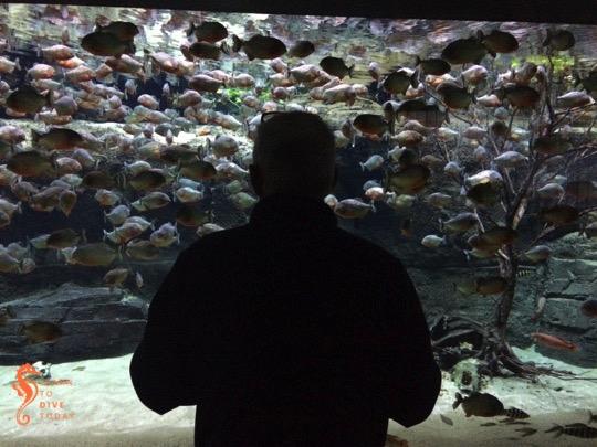 Tony examining piranhas