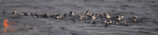 Newsletter: A raft of penguins