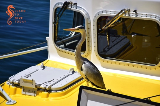 Heron on the NSRI boat in Simon's Town