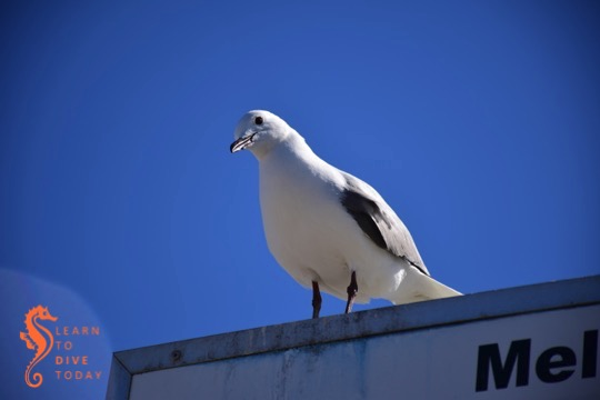 Seagull saying hello at Melkbosstrand