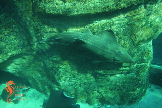 The giant guitarfish