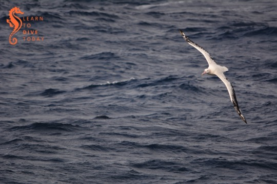 An older wandering albatross