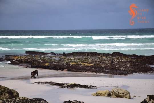 Baboon on the beach
