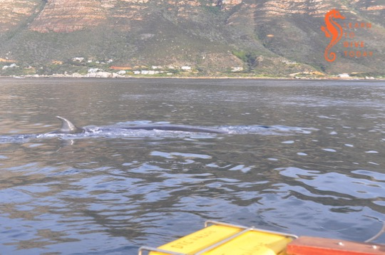 The Brydes whale near the boat