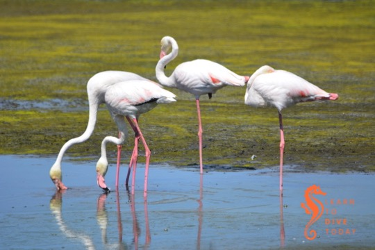 Greater flamingos at Strandfontein
